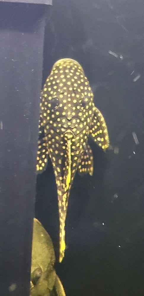 L018 Gold Nugget Pleco 3 Inch 4 Inch Rio Xingu Plecostomus Species Tropical Fish