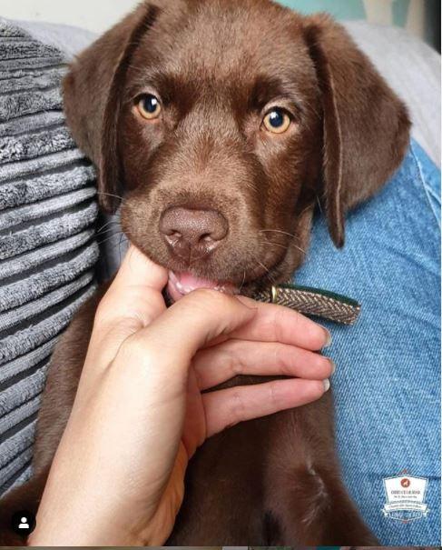 Brown Labrador Puppy Brown Labrador Puppy Chocolate Brown