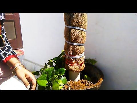 How To Use Moss Stick For Money Plant