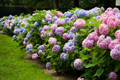 Endless Summer Hydrangea... blooms for early summer to the first frost. Tolerates both extreme heat & cold. Bloom on old & new growth. Avoid any size less than one gallon or they won't bloom the 1st year.  H: 3-4 ft, W: 3-4 ft, Spacing 3 ft., Partial Sun, Hydrangea macrophylla