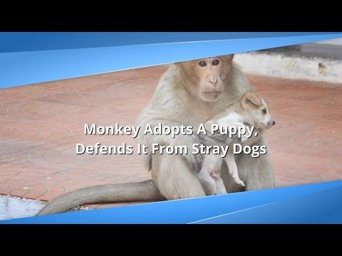 Monkey Adopts Puppy, Makes Sure He Eats First