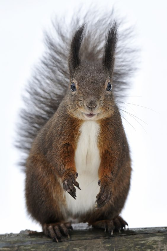 Happy Squirrel by Josef Gelernter