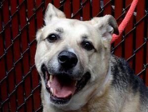 SHADOW is an adoptable German Shepherd Dog Dog in New York, NY. A volunteer writes: My eye was immediately caught by Shadow and I was drawn to him as I saw how sad he looked, laying at the back of his...