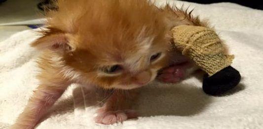 Tiny Kitten Whose Leg Was Amputated Is Finally Purring Once Again Tiny Kitten Kitten Newborn Kittens