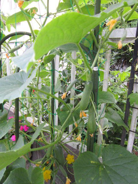 家庭菜園おすすめミニきゅうり 植え時は4月下旬 の作り方