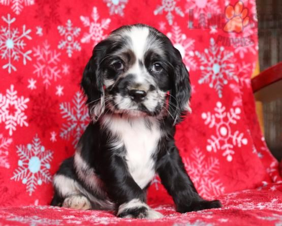 Sugar Cocker Spaniel Puppy For Sale In Newburg Pa Lancaster Puppies In 2020 Spaniel Puppies For Sale Puppies For Sale Cocker Spaniel Puppies