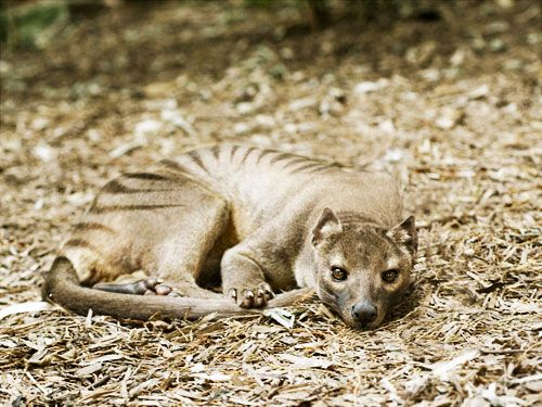 ✟ Thylacine - I find it such a beautiful and haunting photo as we're looking directly into the eyes of a species of animal that no longer exists, thanks to us...