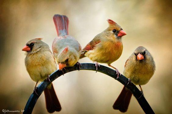 Female cardinals
