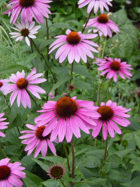 Echinacea is native to Texas, grows well in pots, and is a perennial.  Attracts butterflies.