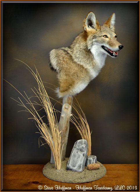 Colorado Coyote Pedestal Shouldertaxidermy Mount Taxidermy Taxidermy Display Hunting Art