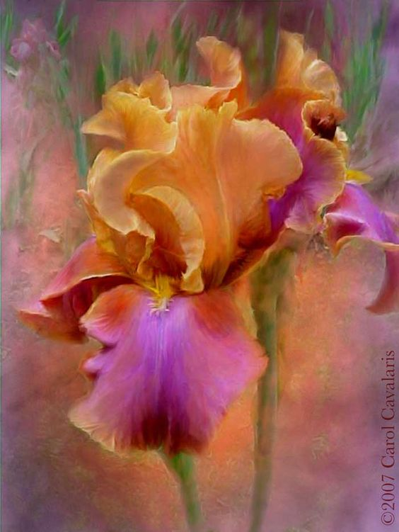 Iris  Delicate whispers of  Faith  Hope  And the  Promise of Love