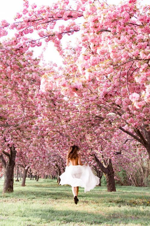 Cherry Blossoms Dc 2019 Insider S Guide Everything You Need To Know Blossoms Cherry Cherryblossom Cherry Blossom Dc Cherry Blossom Festival Flower Field