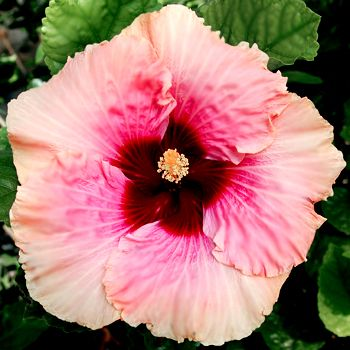 "Exotic Hibiscus 'Heaven's Glow' Soft, ethereal, & beautiful, 'Heaven's Glow' blooms with giant 8-10"" peachy white & rose single flowers that bloom with nearly perfect form, time after time. Each flower opens beautifully with great overlap & shape. 'Heaven's Glow' is the child of classic hibiscus 'High Voltage' and 'Heaven Scent' ~ excellent parents in every possible way.:"