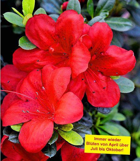Durchbluhende Azalee Bloom Champion Rot 1 Pflanze Pflanzen Straucher Pflanzen Topfblumen