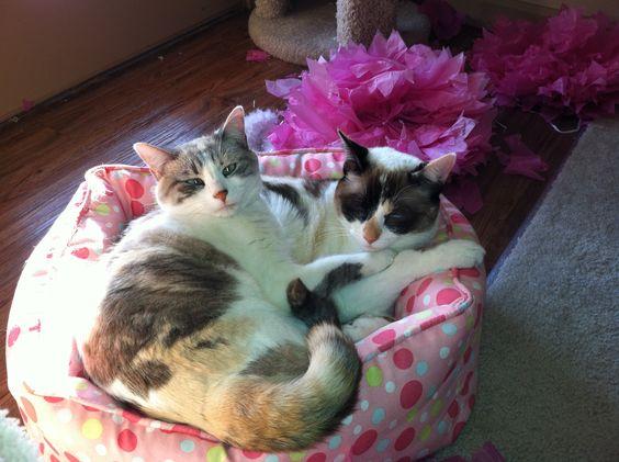 Love My Sweet Siamese Snowshoe Babies :)