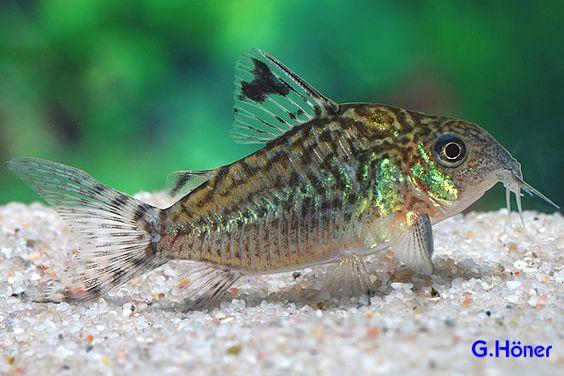 Corydoras reticulatus Catfish and Loaches Pinterest