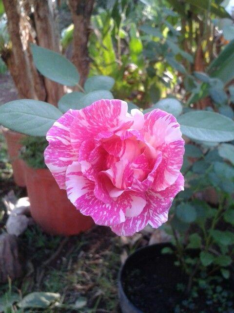 Rosa pepermin