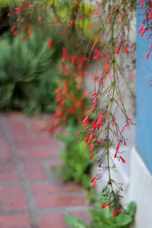 Russelia, cascading from a pot above