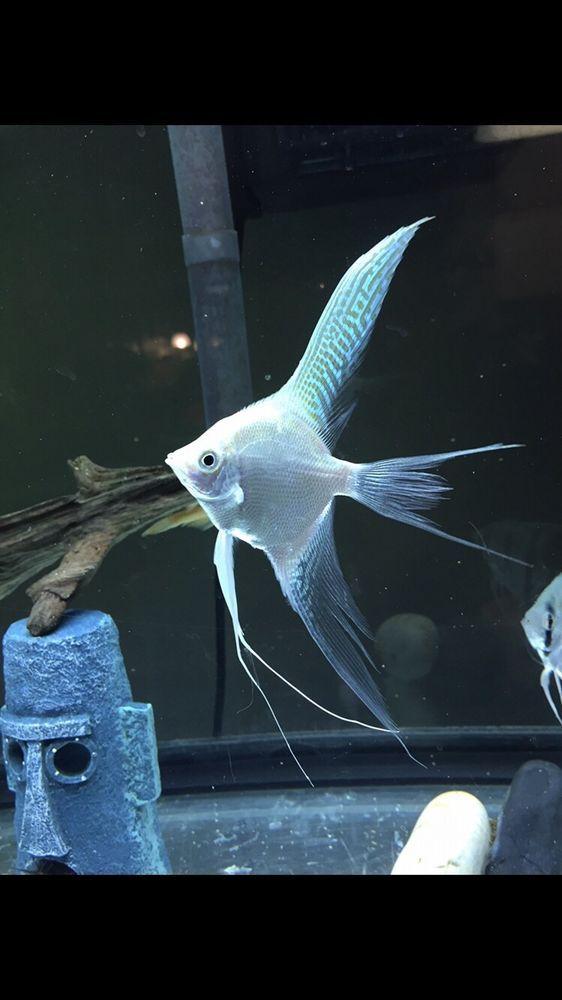 Pre Breeder Veil Blue Platinum Angelfish Angel Fish Fresh Water Fish Tank Tropical Fish Aquarium