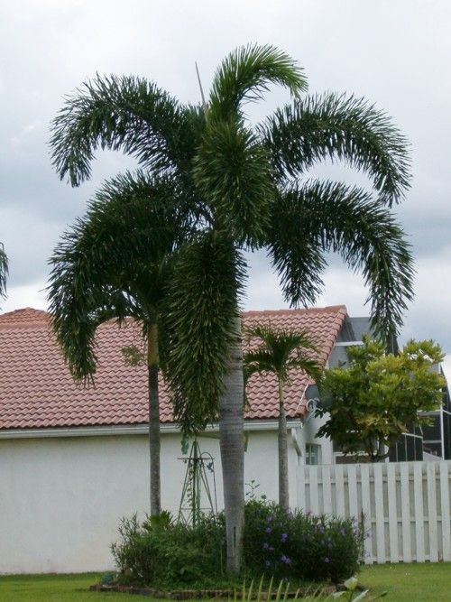 Foxtail palm--another nice one for the yard