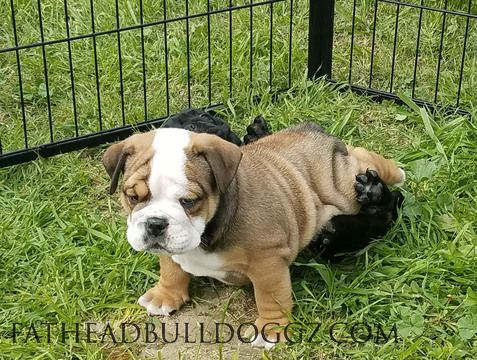 Litter Of 5 English Bulldog Puppies For Sale In Hemet Ca Adn