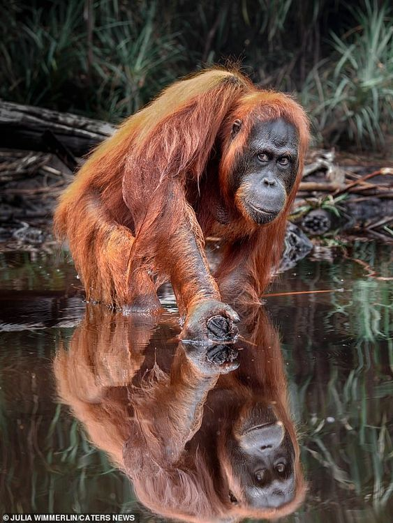 Wimmerlin added that the orangutan was quite suspicious of the party at first but eventual...