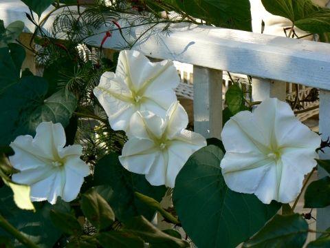 Moon vine, to scent your summer garden in the evenings.  Heaven.