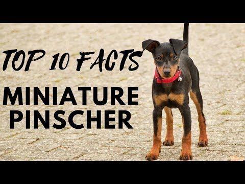 Miniature Pinscher Top 10 Interesting Facts Youtube Dog