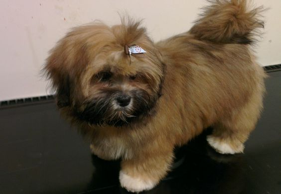Holly all groomed and smart 15wks
