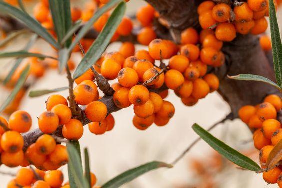 Gartenzauber | Sanddorn (Hippophae rhamnoides)