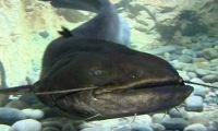 Bébert, la star de l aquarium du Limousin, est mort