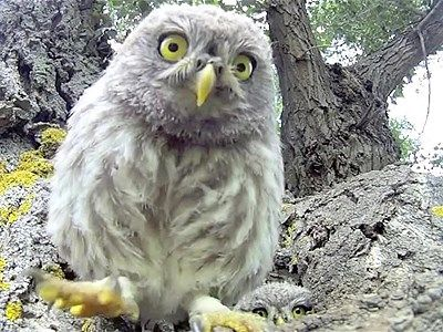 VIDEO:  Watch as a family of three adorable owls curiously investigate a GoPro camera left running outside of their tree hole home. One of the baby owls even decides to peck the lens! Credit to Sebastien Barrio.