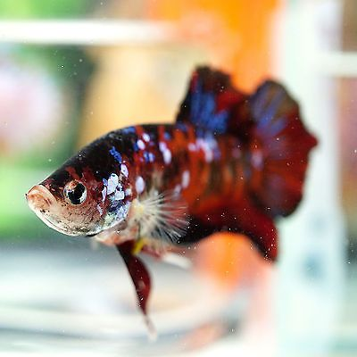 Live Betta Fish Male BIG ONE Fancy Super Red Koi Galaxy Blue Eye TOP QUALITY