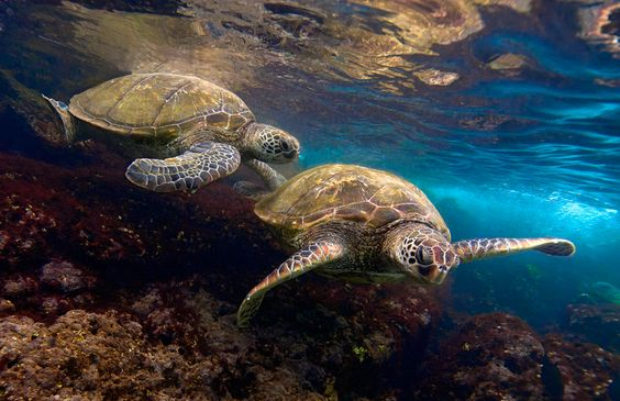 Green turtles, Black Rock at Kaanapali, Hawaii