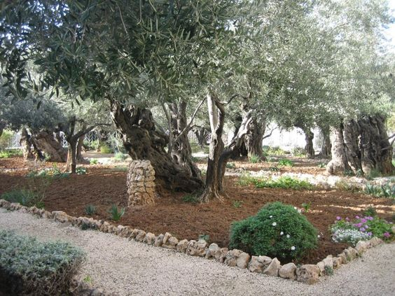 Garden Of Gethsemane Olive Grove Where Jesus Was Betrayed Israel Pinterest Gardens