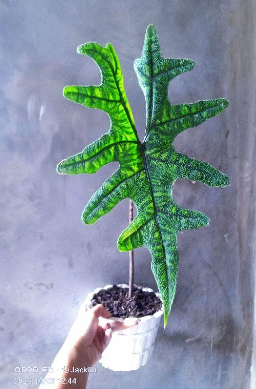 Alocasia Jacklin In 2021 Alocasia Plant Cool Plants Plants