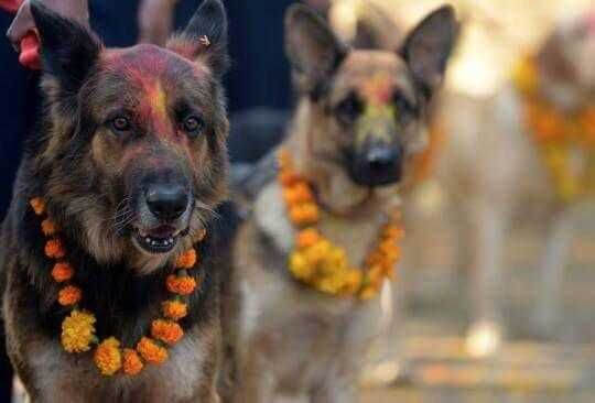 Police Dogs Honored In Nepal Festival Dogs Animals Police Dogs