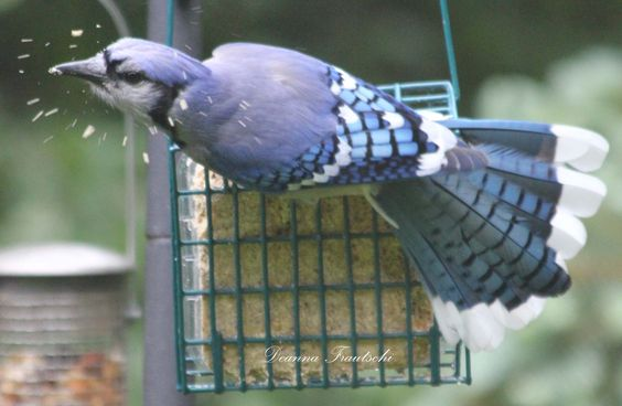 Bluejay at a feeder