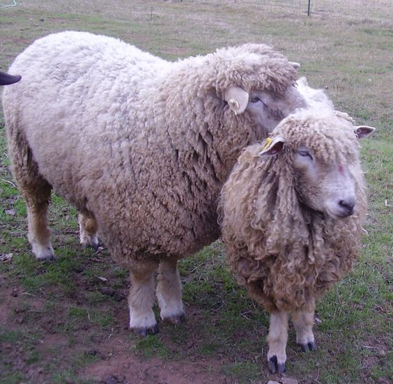 Our ram claims a girlfriend