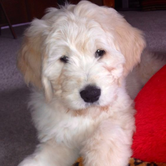 White Goldendoodles White Goldendoodle. | ...