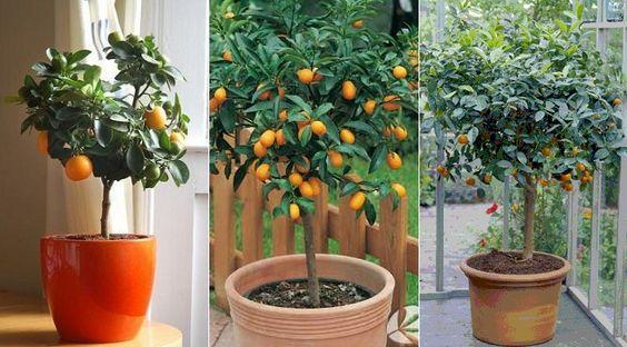 Como-cultivar-un-naranjo-en-maceta1