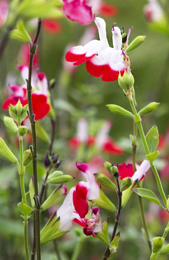 Salvia 'Hot Lips': this bright, attractive sage is perfect for planting near a bench or path, where you can enjoy its pretty blooms and fragrant foliage. Extremely attractive to bees and butterflies. More: http://www.gardenersworld.com/plants/salvia-x-jamensis-hot-lips/5213.html Photo by Sarah Cuttle