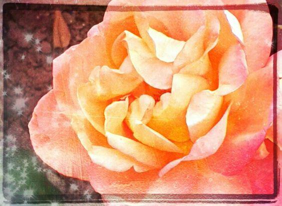 Kraft Rose