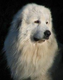 Rassebeschreibung Pyrenäenberghund