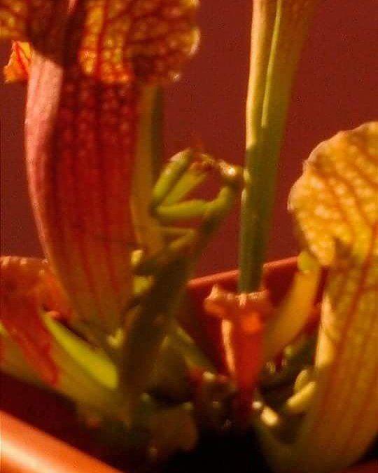 #pitcherplant #piantacarnivora #nature #natura #instaplan #sarraceniacrazy #flower #flytrap #primavera #fiore #sarracenia #mantidereligiosa #caccia #api #ape #insect #insetti by assassinature