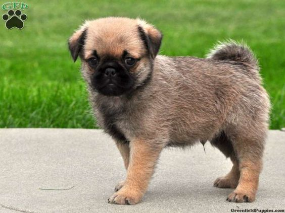 This is a Jug...cross between a Jack Russell and a Pug...adorable ♥♥♥