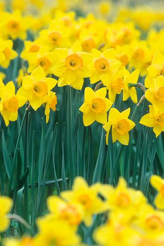 I Wandered Lonely as a Cloud   The daffodils are like little yellow people who guide and keep the speaker company. They are human like in the trait. They dance and sway and always cheer the speaker up. He gives them a human trait of happiness.