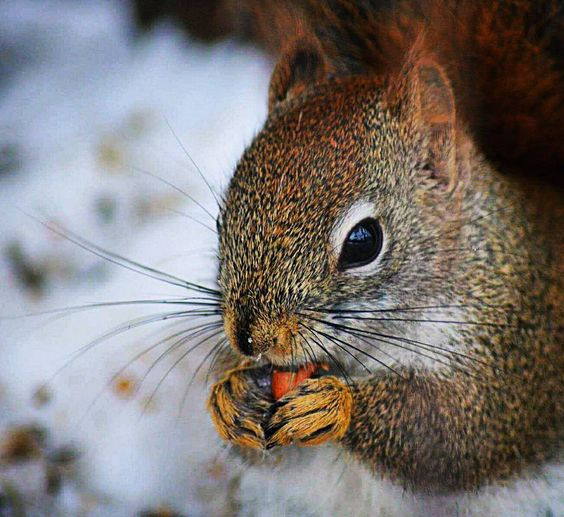 #squirrel #squirrellove #squirrels #squirrely #wildlifephotography #wildlife #naturelove #naturephotography #nature #naturelovers #outdoor #animallovers #animal #animals #cute #cutest #cutie #adorable #cuteanimal #cuteanimals  #jj_community  #wildanimal #snow #snowing #jj_indetail #sn_mar4 #nuts_about_squirrels by 84ejm