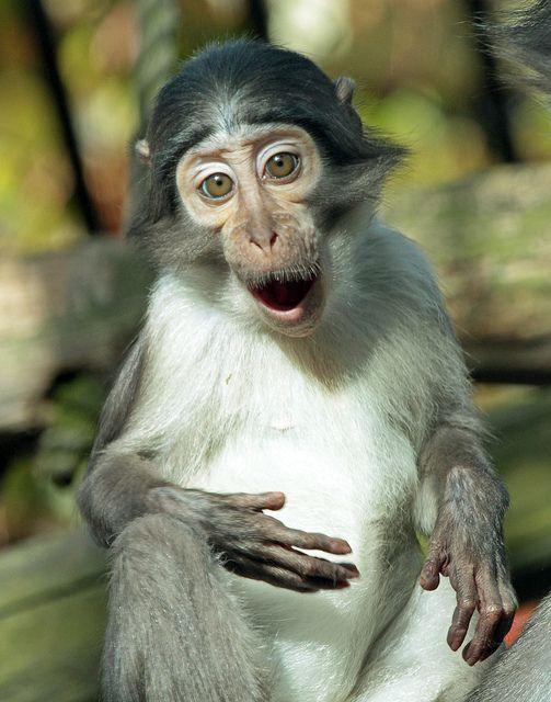 Funny Little Witkruinmangabey
