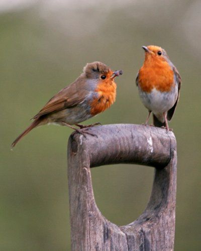 Tiny English Robins waiting for lunch! They will sit on the spade while you dig, looking for worms.